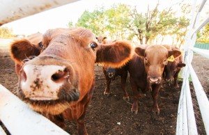 Cattle rustling is on the rise thanks to soaring beef prices. Photo by Brent Fuchs.