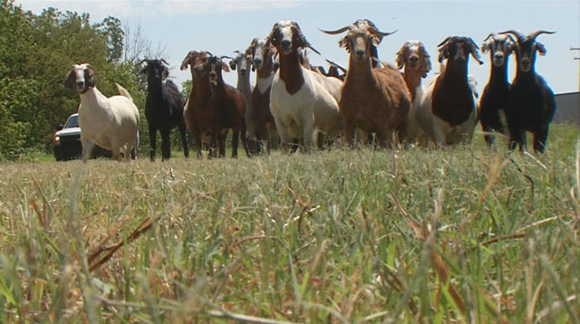 Langston University keeps goats on its campus as part of agricultural research. Photo courtesy Langston University.