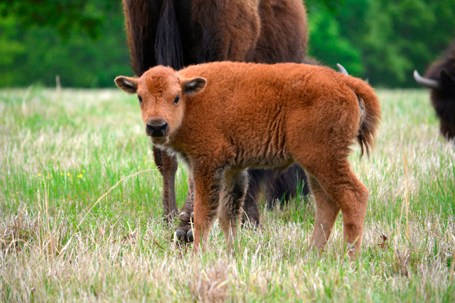 The Cherokee Nation has been reintroducing bison to tribal lands. Photo courtesy Cherokee Nation